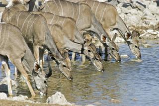 Grosse Kudus (Tragelaphus strepsiceros) an Wasserloch beim Trinken, Etosha National Park, Namibia, Afrika, Greater Kudus, Africa