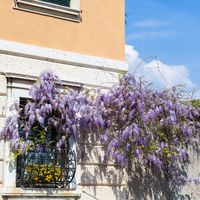 blossoming wisteria plant on wall of urban house