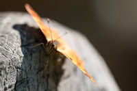 Butterfly Polygonia calbum is sunbathing
