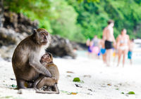 Monkey Mather with child on famous Monkey Beach, Phi Phi Islands, Thailand. Behind, Tourists enjoy t
