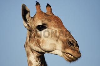 Giraffe, Kalahari Wueste, Südafrika