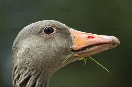 Portrait of a Graylag goose (Anser anser)