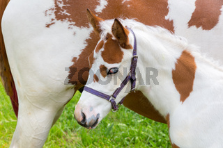 Newborn foal white brown with horse