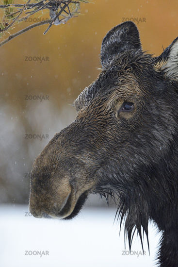 close-up... Moose *Alces alces*