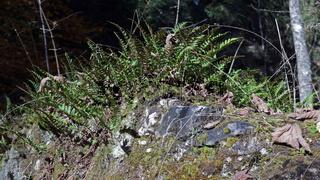 Common polypody, Tüpfelfarn, Polypodium vulgare