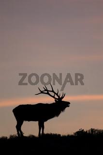Bugling Elk in Yellowstone National Park, Wyoming.