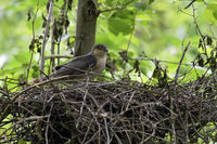 male adult visiting its nest... Eurasian Sparrowhawk *Accipiter nisus*