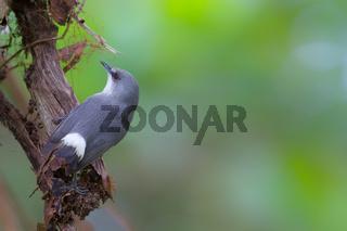 Mauritius-Graubrillenvogel (Zosterops mauritianus)