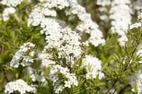 White flowering fresh jasmine flowers
