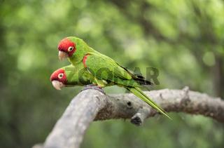 Guayaquilsittiche (Psittacara erythrogenys), Ecuador