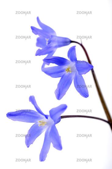 Two-leafed blue star Scilla bifolia