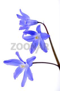 Zweiblaettriger Blaustern Scilla bifolia