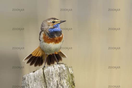 spreading its beautiful tail feathers... White-spotted Bluethroat *Luscinia svecica*