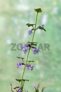 Ground ivy, Glechoma hederacea, Gundermann