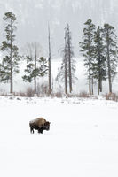 in Lamar Valley, Yellowstone NP... American Bison *Bison bison*