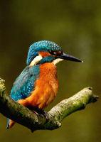 Männlicher Eisvogel ( Jungtier )