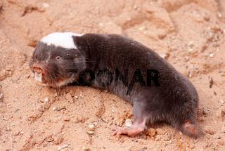 Damara-Graumull, Kgalagadi Transfrontier Park, Südafrika; Cryptomys damarensis, Damara Mole-Rat, South Africa, wildlife