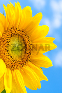 Fantastic yellow sunflower