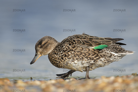 searching for food... Teal *Anas crecca*
