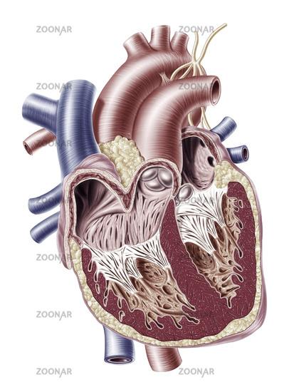 Human heart cross section.