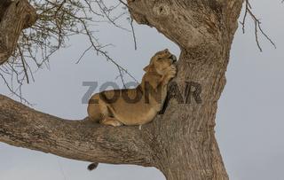 Löwin auf dem Baum im Serengeti Nationalpark