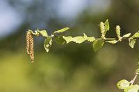 Schwarz Birke, Ufer Birke, Betula nigra L., Detailaufnahme der Blütenstände