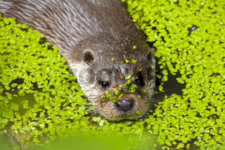 Otter / Lutrinae oder Wassermarder Portrait