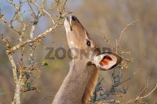 Feeding Kudu antelope