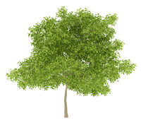 pear tree isolated on white background