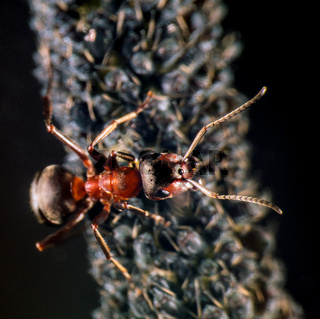 Ant and plant lice