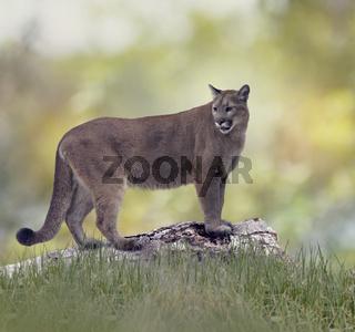 Florida panther or cougar