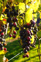 Dark red ripe grapes hang on grape vines
