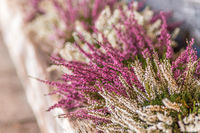 white and pink heather
