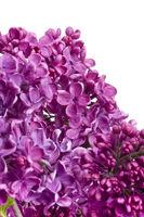 Flieder Blüten wd705