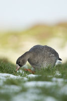 searching for food... White-fronted Goose *Anser albifrons*