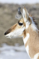 detailed headshot... Pronghorn *Antilocapra americana*