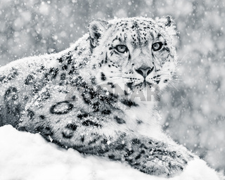 Snow Leopard In Snow Storm III
