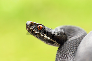 close up of black european common viper ready to strike ( Vipera berus