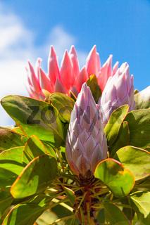 Protea flower Tenerife