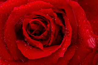 Beautiful red rose closeup.