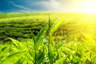 Fresh green tea leaves under sunset sky