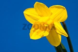 Osterglocke, Daffodil, narcissus jonquilla
