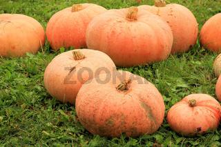 Kürbisse / Pumpkins