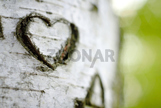 A Carved 'Love Heart' on a Birch Tree