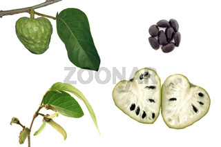 Cherimoya-Bluete-Frucht-Samen -annona-