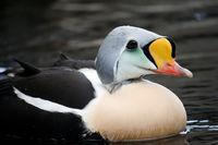 King Eider Bird in Water