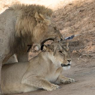 Löwenpaar, ich habe dich zum Fressen gern!