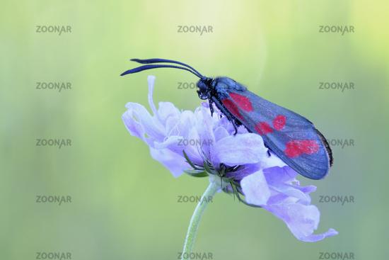 day-flying moth... Six-spot Burnet *Zygaena filipendulae*