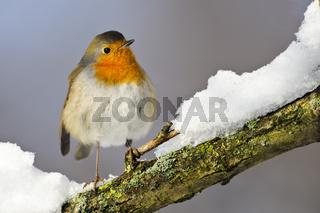 Rotkehlchen im Winter, Deutschland
