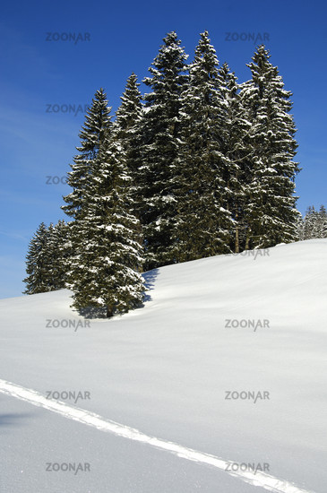Winter landscape with snow-covered spruce forest